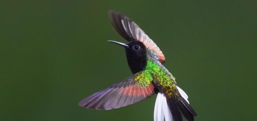 Kolibri tulajdonságai