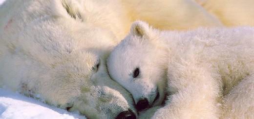 jegesmedve szőre