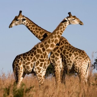 emberi nyak és zsiráf nyak hasonlósága