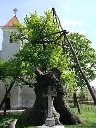 legidősebb fa,hédervári öreg tölgy