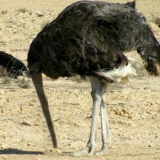 strucc homokba dugja a fejét