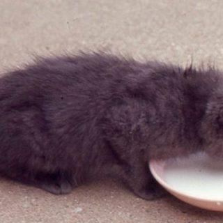 macska és tej